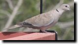 [Eurasian Collared Dove]