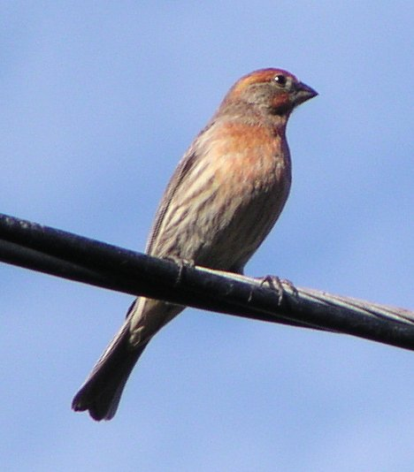 [House finch]