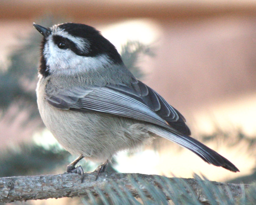 [Mountain chickadee]
