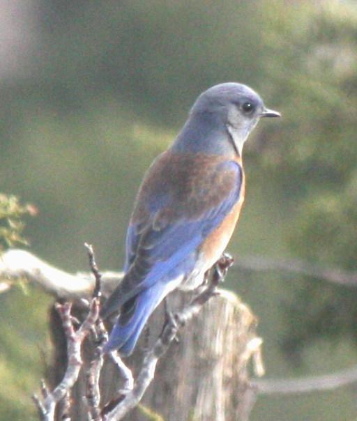[Western bluebird]