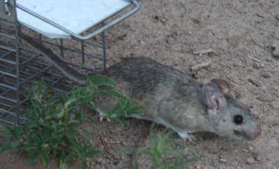 [Woodrat released from trap]