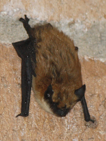[Myotis bat hanging just outside the front door]