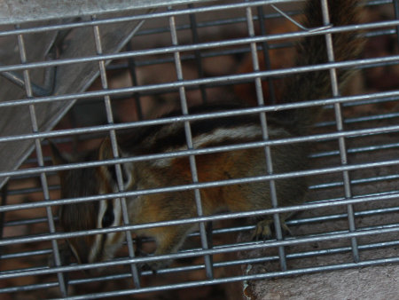 [chipmunk caught in our rat trap]