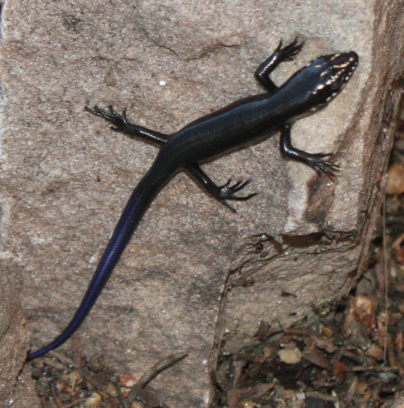 [Baby Great Plains skink]