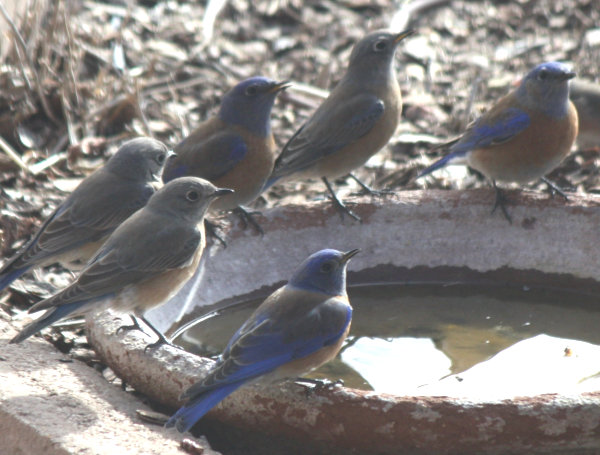 [bluebirds hanging out at the water dish]