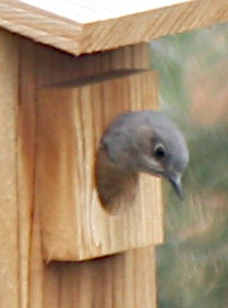 [bluebird peering out from birdhouse]