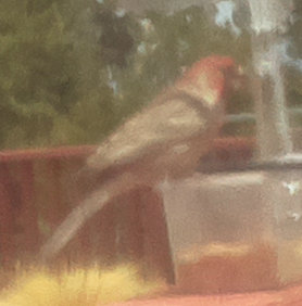 [House finch with the bad Raspberry Pi camera module]