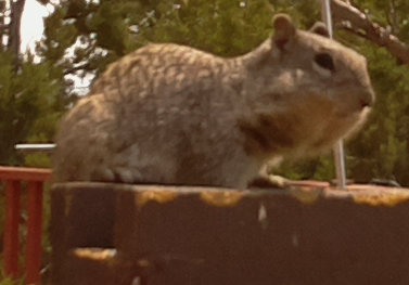 [rock squirrel with cheeks full of sunflower seeds]