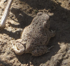 [Canyon Tree Frog on the Rio Grande]