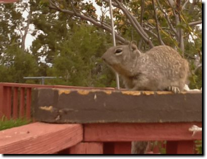 [Rock squirrel using Raspberry Pi camera]