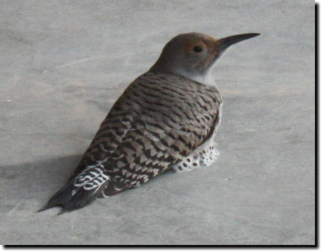 [Northern Flicker on our deck]