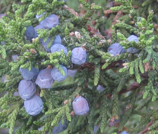 [juniper berries]