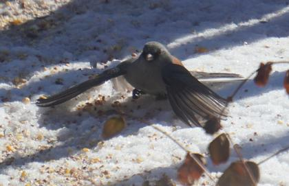 [grey-headed junco, 'umbrella fishing']