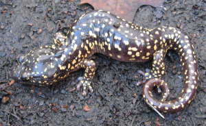[Arboreal salamander in the backyard]