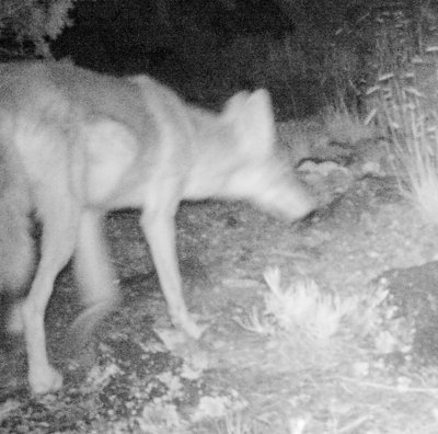 [coyote caught on the TrophyCam]