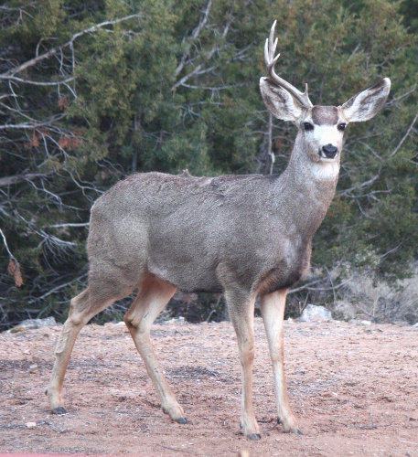 [mule deer stag with one antler]