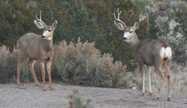 [two mule deer stags with one antler each]