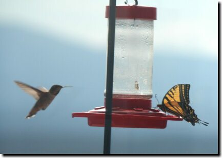 [Swallowtail at the hummingbird feeder]