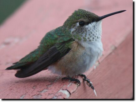 [Female hummingbird posing]