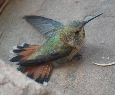 [Hummingbird with btoken wing]