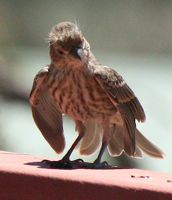 [house finch chick]