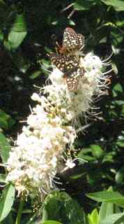 [Variable checkerspot butterflies on buckeye flowers]