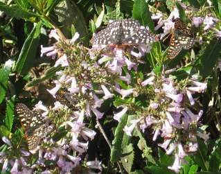 [Variable checkerspot butterflies on yerba santa]
