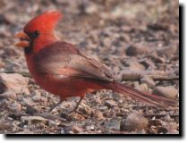 [ Northern Cardinal ]
