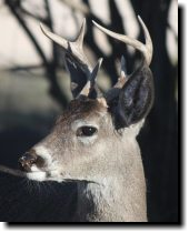 [ white-tailed buck ]