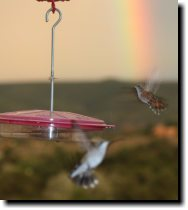 [Hummingbirds and rainbow]
