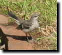[young mockingbird who thinks he's a quail or a wren]