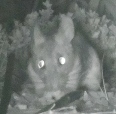 [Mouse caught on IR camera]