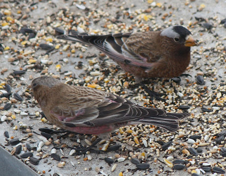 [Rosy-finches]