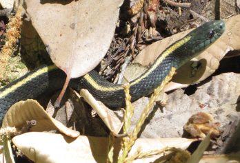 [garter snake]