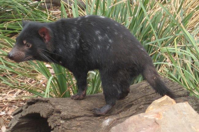 [Tasmanian Devil]
