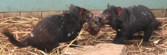 [Tasmanian devil tug-o-war]