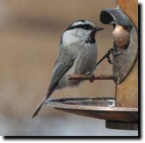 [ Mountain chickadee ]