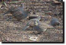 [ Scaled quail ]