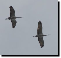 [ Two very late-season sandhill cranes ]