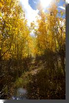 [Aspen grove on Pajarito Mountain]