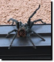 [Tarantula, resting after climbing up our glass patio door]