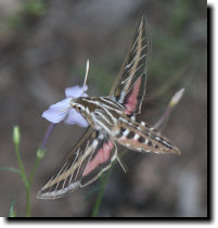 [White-lined sphinx moth on pale trumpets]