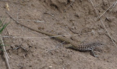[Maybe a New Mexico Whiptail]