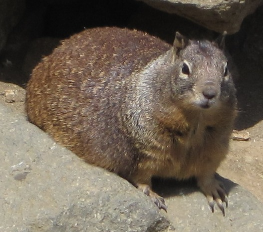 [Grossly fat California ground squirrel at Morro Rock]