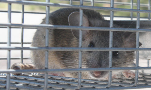 [White throated woodrat in a trap]