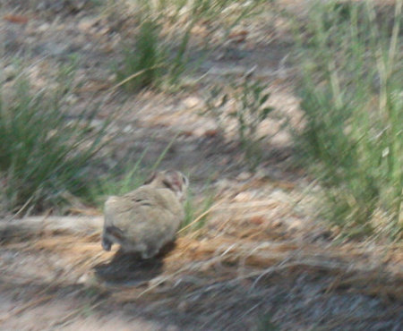 [White throated woodrat bounding away]
