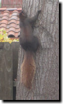 [Black squirrel with a red tail]