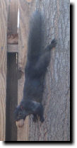 [black squirrel LB hanging by his feet]