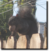 [LB, our black squirrel]
